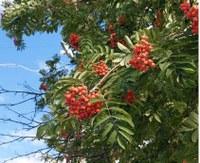 В Уйском районе выдался небывалый урожай ягод рябины